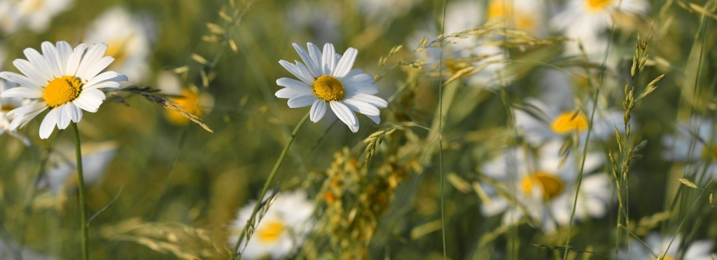 ox-eye-daisy-3454575_1920.jpg